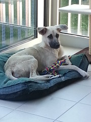 20140716_192359 (citydogs4streetdogs) Tags: tansy adopted