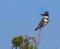 Belted Kingfisher (Megaceryle alcyon) (Susan Jarnagin) Tags: bird atlanticcounty edwinbforsythenwr wildlife nj megacerylealcyon beltedkingfisher