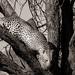 Leopard in tree B&W