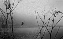 A Misty Morning ... (Go placidly amidst the noise and haste...) Tags: web spidersweb spider mono blackandwhite blackwhite wackerquay cornwall dof depthoffield silverefex arachnid mist fog misty foggy blackwhitepassionaward bwworldwithnikon