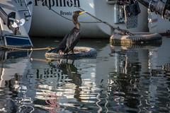 Bronte Harbour: Tamron 18-400mm (KWPashuk) Tags: nikon d7200 tamron18400mm lightroom nikcollection kwpashuk kevinpashuk cormorant bird seabird water reflection harbour bronte oakville ontario canada boats