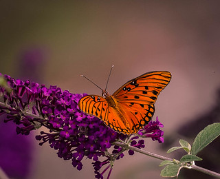 The butterfly does not count months