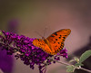 The butterfly does not count months (knoxnc) Tags: butterflybush bokeh afternoonsun closeup butterfly nature 193 sunlight outisde d7200 nikon specanimal sunrays5 fantasticnature alitttlebeauty coth5