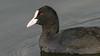 186.3 Meerkoet-20040228-J0402-4316 (dirkvanmourik) Tags: boetjevanonzekees castricum commoncoot duinreservaat fulicaatra meerkoet nederland aves bird