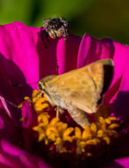 Hunting (sethjschubert) Tags: spider butterfly nature flower jumpingspider zinnia blossom insect bloom