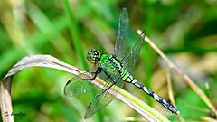 Dragonfly ~ Eastern Pondhawk (Suzanham) Tags: dragonfly easternpondhawk bug insect wings grass predator mississippi southern noxubeewildliferefuge canonpowershotsx60hs odonata