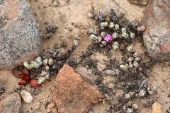 Lampranthus maximiliani = Braunsia maximilianii (Aizoaceae)