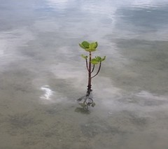 Mangroves Figure 2b