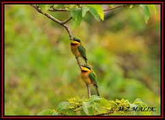 PAIR OF LITTLE BEE-EATERS (Melittophagus pusillus).....NAIROBI NAT PARK....OCT 2013 (M Z Malik) Tags: nikon d3x 200400mm14afs kenya africa safari wildlife nairobinatpark exoticafricanwildlife exoticafricanbirds