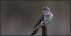 _8029 Cuckoo (Dave @ Catchlight Images) Tags: nature wildlife bird birds islands island lemnos cuckoo greece