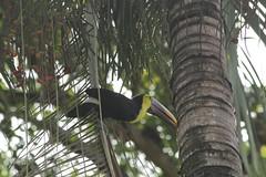 IMG_9134 (leobos) Tags: costarica manuelantonio bird toekan