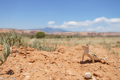 earless lizard in habitat (brian eagar - very busy - not much time to comment) Tags: lizard herp reptile scale wild wildlife nature animal outdoor outside sand sanjuancounty utah grassland july 2017