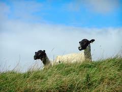 here's lookin' at ewe (DigitalLyte) Tags: hillfort sheep ewes blackface hill grass maidencastle dorchester dorset uk england