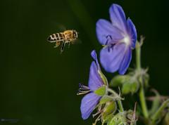 Bees are allways working... (Irena Rihova) Tags: insect bee bees honeybee honey flowers flower sharp purple violet wild wildanimal animal animals macro closeup detail