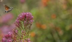 Hummingbird Hawk Moth - Macroglossum stellatarum (frattonparker) Tags: btonner bokeh dayflyingmoth depthoffield flowersplants hawkmoth isleofwight lightroom6 moth nikond810 raw tamron28300mm ventnor frattonparker