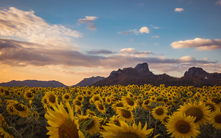 Among sunflower field during sunset.