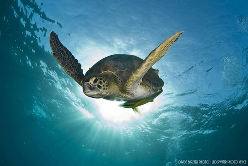 CelebesDivers - underwater 71 (green turtle)