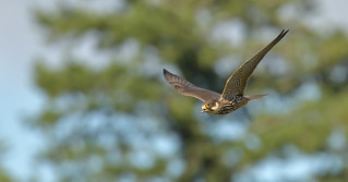 Hobby with prey