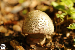 Blusher (Frankhuizen Photography) Tags: mushroom lac de bethmale france 2017 natuur nature micro macro landscape pilze paddenstoel zwam champignons frankrijk amanita rubescens amanite rougissante blusher parelamaniet
