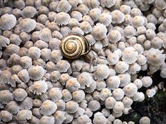crumble-cap carpet (marianna_a.) Tags: mushrooms crumblecap tiny mass outcrop carpet textur texture snail macro mariannaarmata p1560525