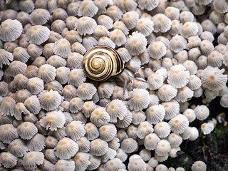 crumble-cap carpet