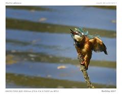 Martin-pêcheur | Kingfisher (BerColly) Tags: espagne spain plaiaundi txingudi oiseau bird martinpêcheur kingfisher portrait bercolly goggle flickr