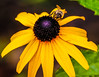 the dark heart (Paul Wrights Reserved) Tags: yellowflower yellow flower flowers focus bee petals pollinating pollenation insect insects feeding delicate broken fragile heart beautiful botanical bokeh bright
