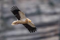 Vautour Percnoptère - Espagne - 2017-08-07 (marczoccarato) Tags: bokeh nikond5 espagne wildlife oiseau vautourpercnoptère nikkor500f4e birdofprey neophronpercnopterus vautour rapace egyptianvulture