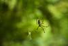 女郎蜘蛛3 - Joro Spider 3 (burak.maasoglu) Tags: spiderweb spider joro jorospider yellow red japan kagoshima senganen green 鹿児島 女郎 女郎蜘蛛 蜘蛛 蜘蛛糸 仙厳園 赤い 緑 黄色
