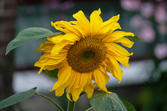 Sunflower (OgniP) Tags: