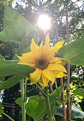 Sunflower (Tezza Campbell, July 17)