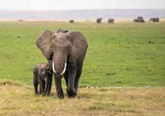DSC_6168 (stacyjohnmack) Tags: africa kenya amboseli amboselinationalpark amboselli baby elephant safari