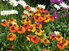 Lac du Flambeau, WI, North Woods, Garden Flowers (Mary Warren (9.0+ million views)) Tags: lacduflambeauwi northwoods nature flora plants green orange white daisies blooms blossoms flowers garden coth5