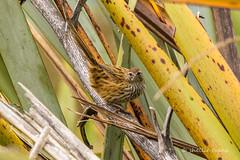 Fermbird/Matata- Sinclair Wetlands, Lakes Waihola-Waipori, South Dunedin (flyingkiwigirl) Tags: sinclairwetlands sinclair wetlands lakes waihola waipori south dunedin camp fernbird