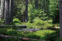 Moor Etang de la Gruère ( JU - 998 m - Hochmoor Moor - Naturschutzgebiet ) auf dem Hochplateau der Freiberge - Franches - Montagnes bei Saignelégier im Kanton Jura der Schweiz (chrchr_75) Tags: christoph hurni schweiz suisse switzerland svizzera suissa swiss chrchr chrchr75 chrigu chriguhurni chriguhurnibluemailch august 2017 albumzzz201708august