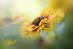 Gaillardia (Jacky Parker Flower Photography) Tags: gaillardia blanketflower flower yellow beautyinnature floralart freshness fragility colorimage horizontalformat selectivefocus sunnny sunight sunshine imagefocustechnique bloom flora