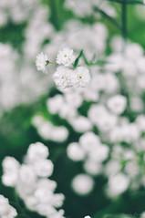 white lies. (Nicole Favero) Tags: verde flower love amazing mine cute cool awesome forever nature nikon nikond5000 nicolefavero followme white lies crazy green lightroom mountain soca river 50mm place blue slovenia
