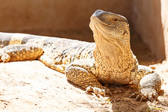 Monitor Lizard with his head high (charissadescande) Tags: asian danger asia endangered large water lizard reptile indonesia animal dragon varanus creature wild wildlife head predator nature tongue dinosaur dangerous park eye giant varan monitor addo easterncape southafrica zaf