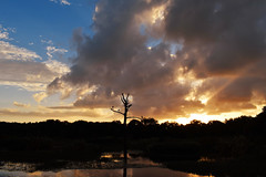 Sunset at Green Cay (BMADHudson) Tags: southflorida silhouette sunset sky sun sflwetlands florida floridaphotography floridawetlands floridasunset colorful clouds bird bocaraton black blue orange outdoor nikon nikond5500 nature naturephotography young poofyclouds plants water tree branch light night dark landscape park august212017 august 2017 usa colorfulsky teenphotographers