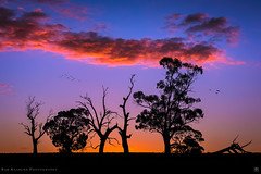 Down By The River (Rob Reaburn Photography) Tags: sunset campasperiver clouds silhouette trees twilight complimentary colors orange yellow blue centralvictoria australia eucalypts evening