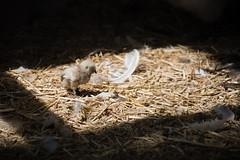 Sunbathe (aidin36) Tags: bird chicken cage sun tehran iran پرنده جوجه قفس آفتاب تهران ایران باغپرندگان