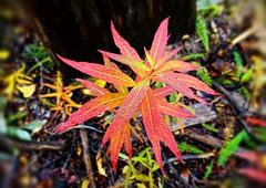 Autumn Fireweed - Alaska (JLS Photography - Alaska) Tags: weeds weed fireweed red leaves leaf redleaves fallleaves coloredleaves autumn autumnfoliage autuum fall fallfoliage jlsphotographyalaska macro plant