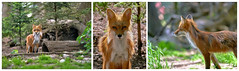 I am a nosy boy ! (W_von_S) Tags: fox fuchs rotfuchs redfox animal tier natur nature wildpark poing ebersberg bavaria bayern young jung nosy neugierig wvons werner sony outdoor 2017 collage triptychon triptych