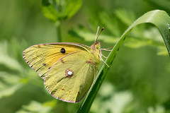 Clouded Yellow (GOLDENORFE) Tags: butterfly cloudedyellow corfu