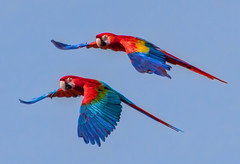 Macaws painting the sky (FotoGrazio) Tags: amazon animals aramacao macaw red sandiegozoosafaripark scarletmacaw southamerica waynegrazio waynesgrazio animal beautifulbird bigbeak bigparrots bird birds bondedpair clouds flight flying fotograzio freebird macaws motion nationalbirdofhonduras nature pair parrot pinksky scarlet shadesofred soaring two wildlife wingfeathers wingspan wings coth5