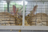 Ohio State Fair (i35photography) Tags: osf ohio ohiostatefair rabbit rabbitcontest rabbitslooking stare wall