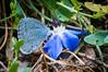 17_Papillons_6770 (darry@darryphotos.com) Tags: argusbleu azurécommun azurédelabugrane entomologie papillon