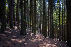 The Barcode? (jen.ivana) Tags: wood forest pathway footpath woods outdoor summer shadow light stem dark green color colour