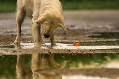Curious (Cle Manuel) Tags: golden retriever goldenretriever dog water reflection samyang 135mm f2 clemanuel cle manuel tierfotografie hundefotograf hundefotografie erlangen nürnberg baiersdorf nature cute labrador playful bokeh puddle sony sonyalpha a6000