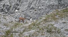 Steenbok (jeannette.dejong) Tags: ngc naturelovers natuur steenbok karwendel tirol pertisau bruin groen grijs